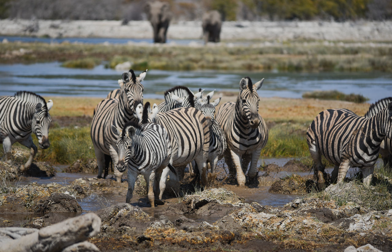 zebra, striped, animals in the wild, animal themes, animal wildlife, mammal, outdoors, nature, day, no people, safari animals, standing, large group of animals, full length, water
