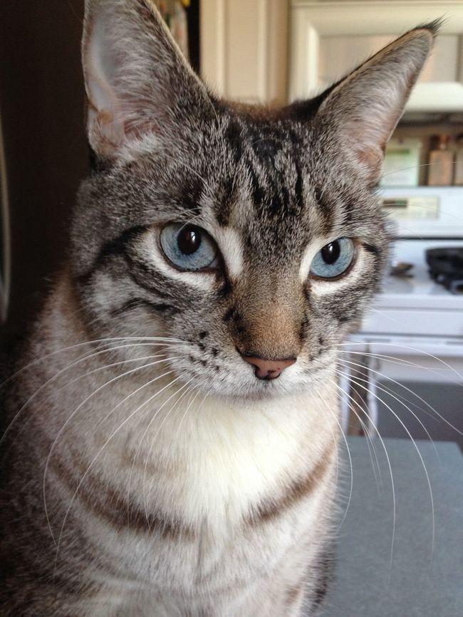 Helen Cat Cat♡ Cat Lovers Pet Blue Eyes