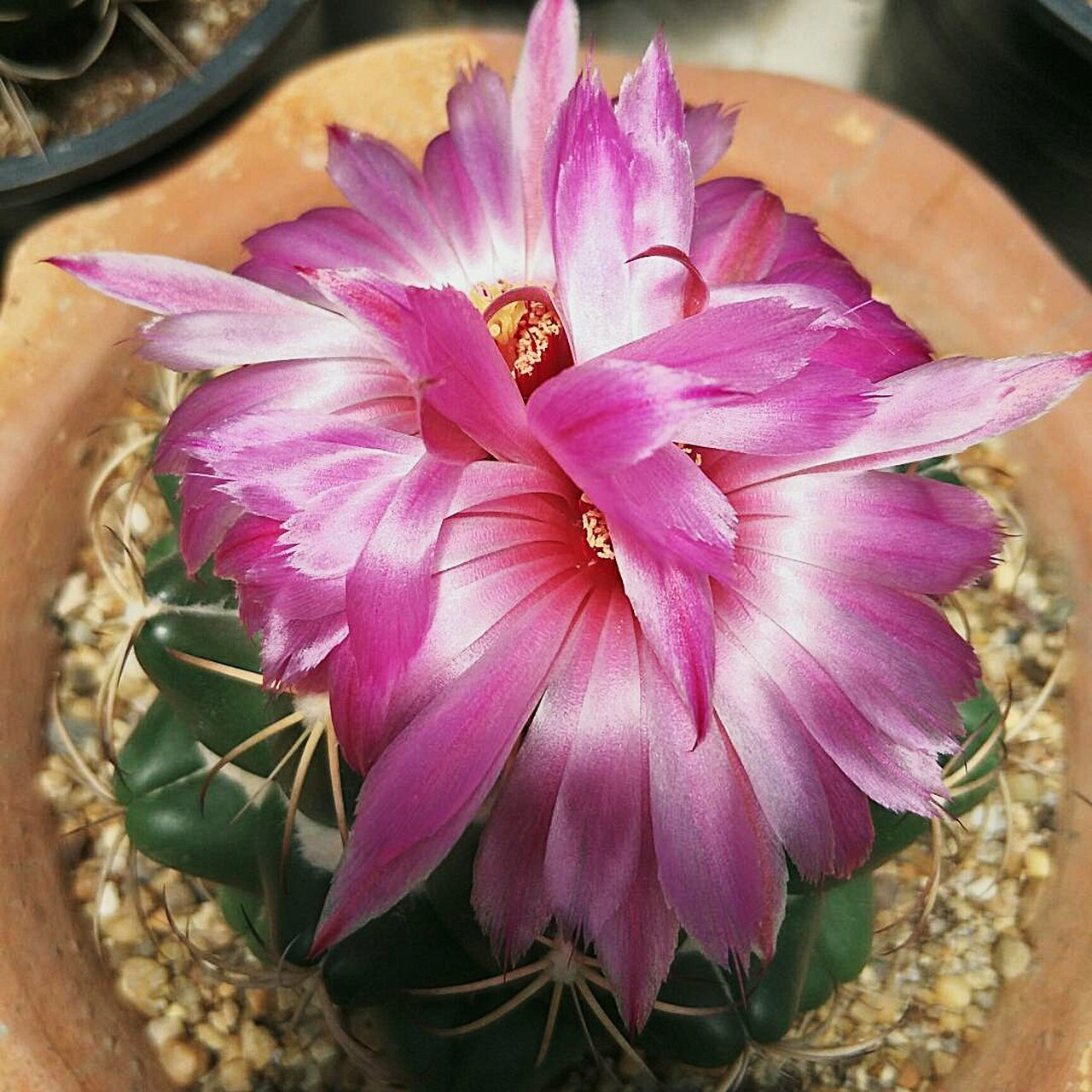 Cactus Flower Cactusflower Cactuslover Coryphantha Beauty In Nature Plant Cacti Succulents