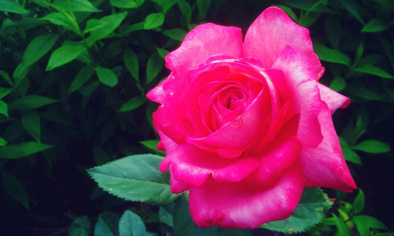 Taking Photos Soft Focus Close Up Photography In Rose Garden Beautiful Nature Nature_collection Flowers, Nature And Beauty Roses_collectionRose🌹 Showcase July
