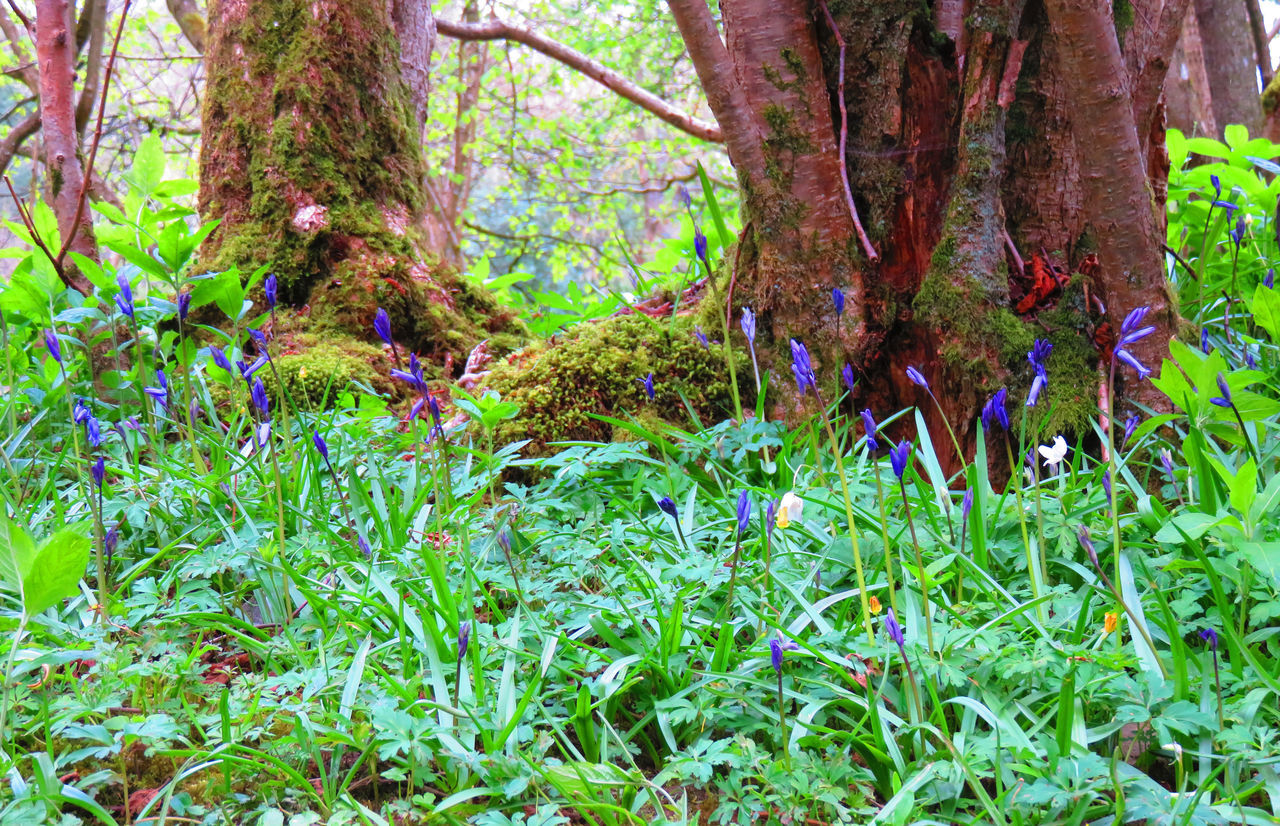 Aysgarth Beauty In Nature Blue Bells Bluebell Bluebell Wood Bluebell Woods Bluebells EyeEm Best Shots - Nature EyeEm Nature Lover Forest Fragility Nature Tranquility Tree Trunk Woodland Walk Woods