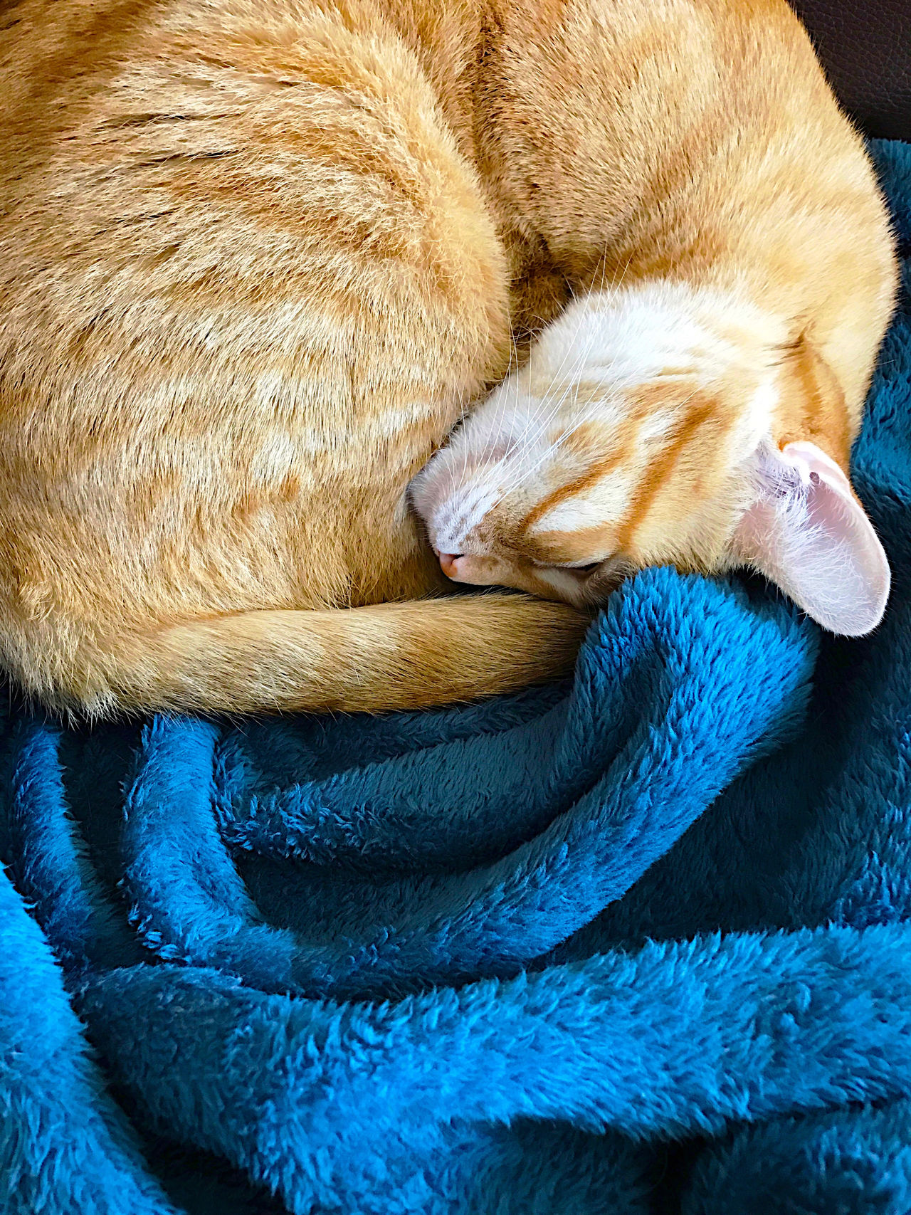 Orange cat curled up on blanket Animal At Home Blanket Blue Cat Close-up Cozy Curled Up Furry Indoors  Mammal Napping Natural Light No People Orange And White Tabby Overhead Pampered Pet Pet Phone Camera Relaxed Sleeping Soft Textures Vertical Warm