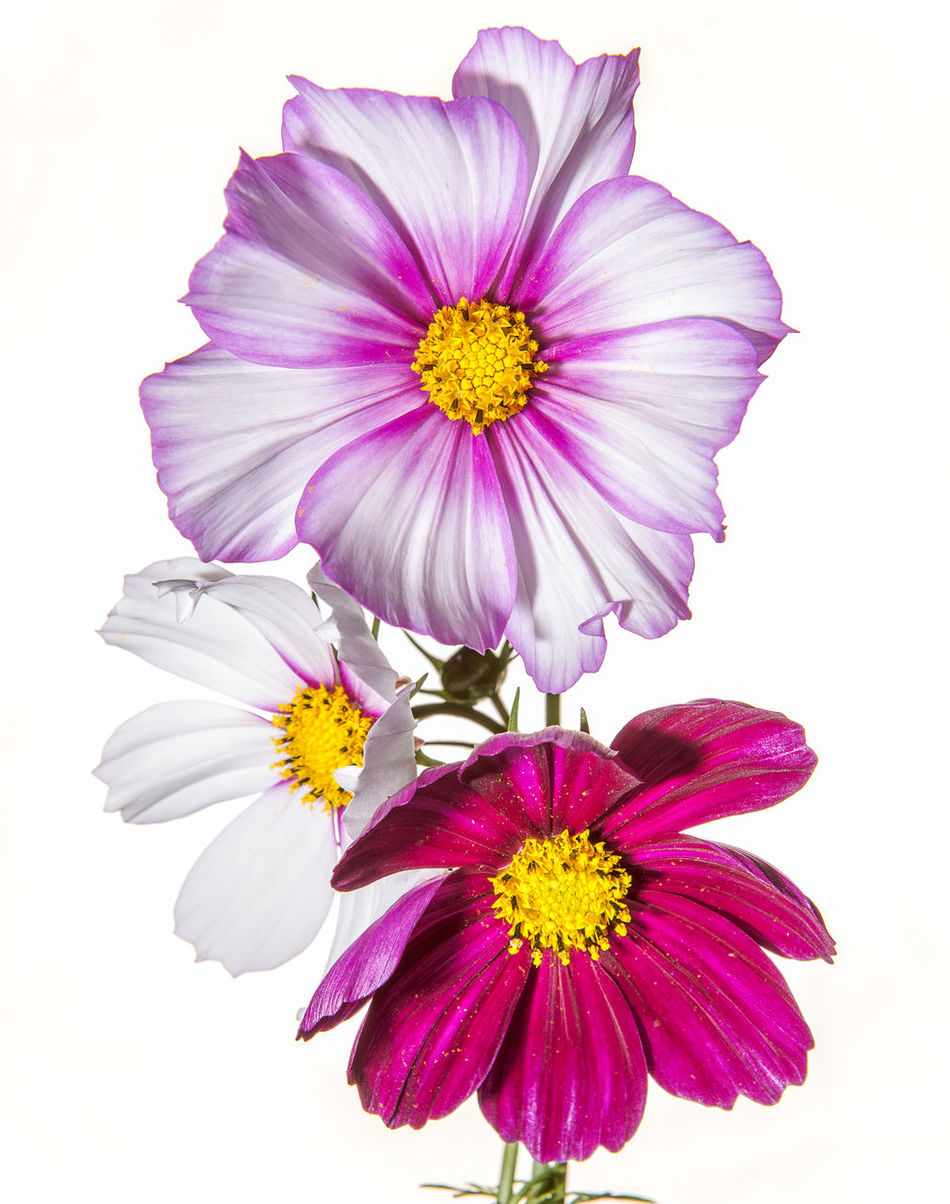 The beauty of Pinks Beauty In Nature Blooming Close-up Cosmos Flower Day Flower Flower Head Fragility Freshness Nature No People Outdoors Petal Pink Color Pollen Purple White Background