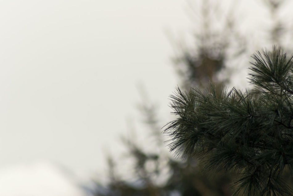 conifer needles Beauty In Nature Close-up Cold Temperature Coniferous Trees Conifers Day Focus On Foreground Growth Nature Needles No People Outdoors Plant Sky Snow Tree Winter