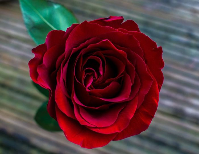 Flower Petal Fragility Flower Head Nature Rose - Flower Freshness Close-up Beauty In Nature Blooming Red
