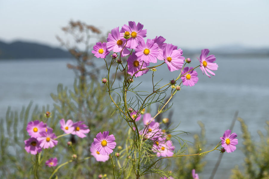 view of Gomgaenaru, an old port at Geumgang River in Iksan, Jeonbuk, South Korea Cosmos Cosmos Flower Geumgang Geumgang River Riverside Beauty In Nature Blooming Clear Sky Close-up Cosmos Flower Crocus Day Flower Flower Head Focus On Foreground Foreground Fragility Freshness Growth Nature No People Outdoors Petal Pink Color Plant River Scenics Sea Sky Tranquility Water