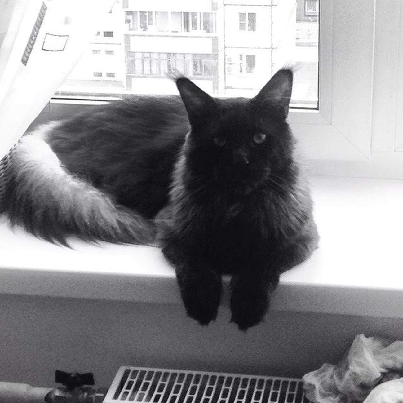 Приветики✋🏾Instacats Cat Kitty Blackandwhite Mainecoon Catsofinstagram Cat Black Blackmainecoon OHMYGOD Katze Kitty Kitten Coonies BLackCat Bigcat Pet Petsofinstagram Petstagram Instacat Catstagram Dailycat