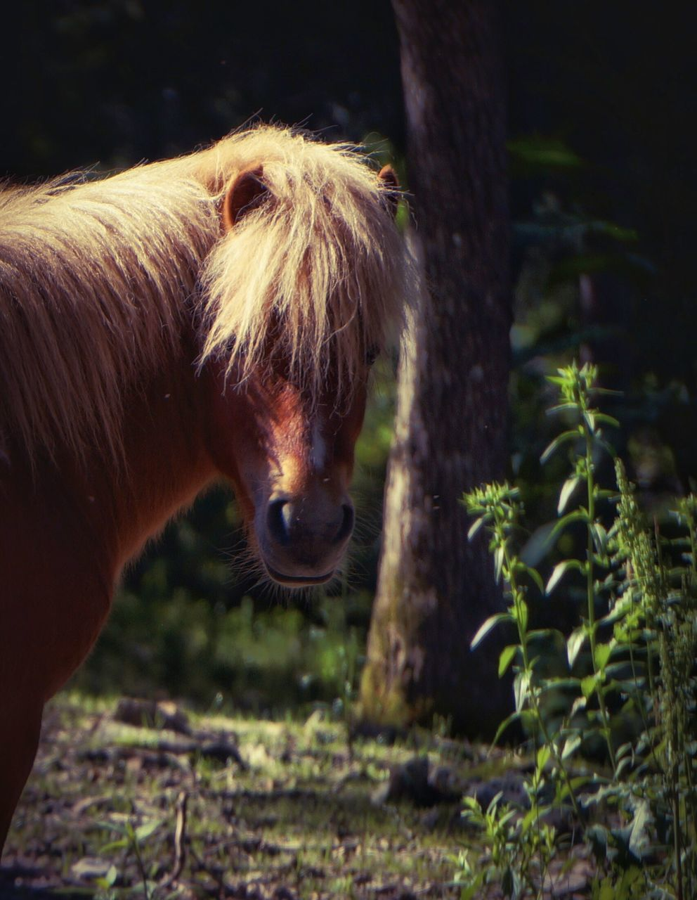 horse, domestic animals, animal themes, mammal, one animal, livestock, herbivorous, outdoors, day, standing, no people, nature, tree, close-up