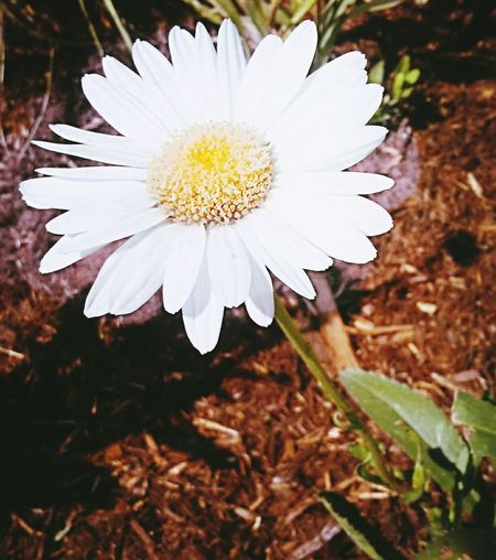 Flower Daisy Beautiful Colorado Boulder Nature Luckys Flora First Eyeem Photo