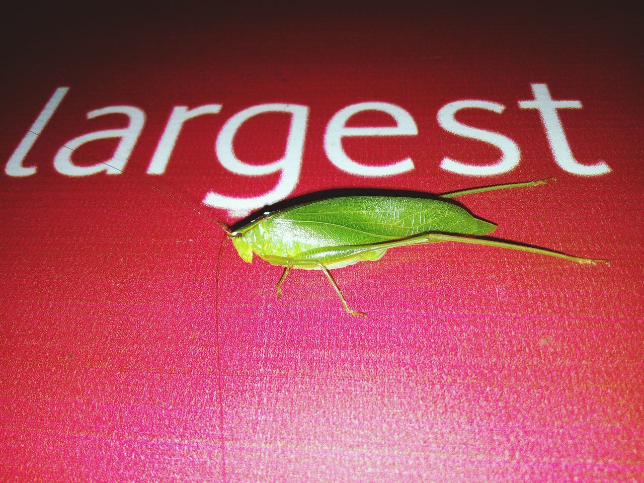 Before that I never Saw That Kind Of Insect In Larger Shape, Coincidentally Its Introduce Itself As LargestDeepGreenInsects.But I Know Thats Not Largest. Deepgreen Wild INSECT. Wildlife EyeEmNewHere