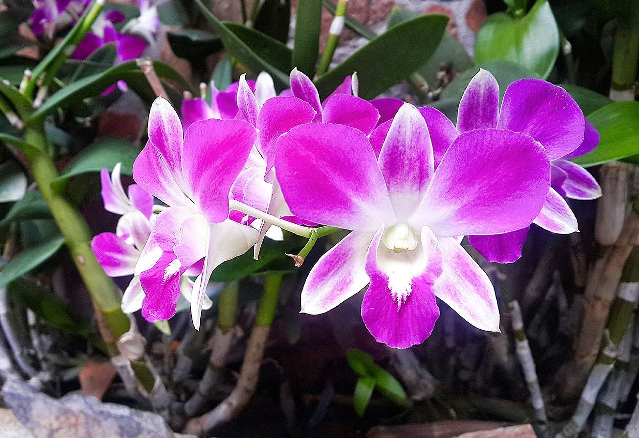 Pink orchid flowers Orchids Orchids Collection Garden Purple Flowers Flowers Beautiful Flower Terrestrial Orchids Nature Orchid Species