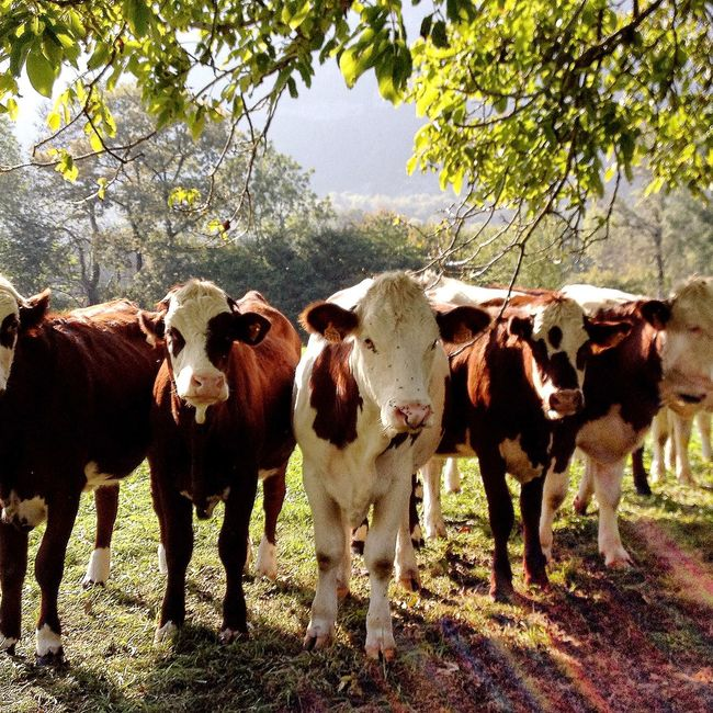 IPhoneography Countryside Iphonephotography Trees Summer Cows Curious IPS2016Nature