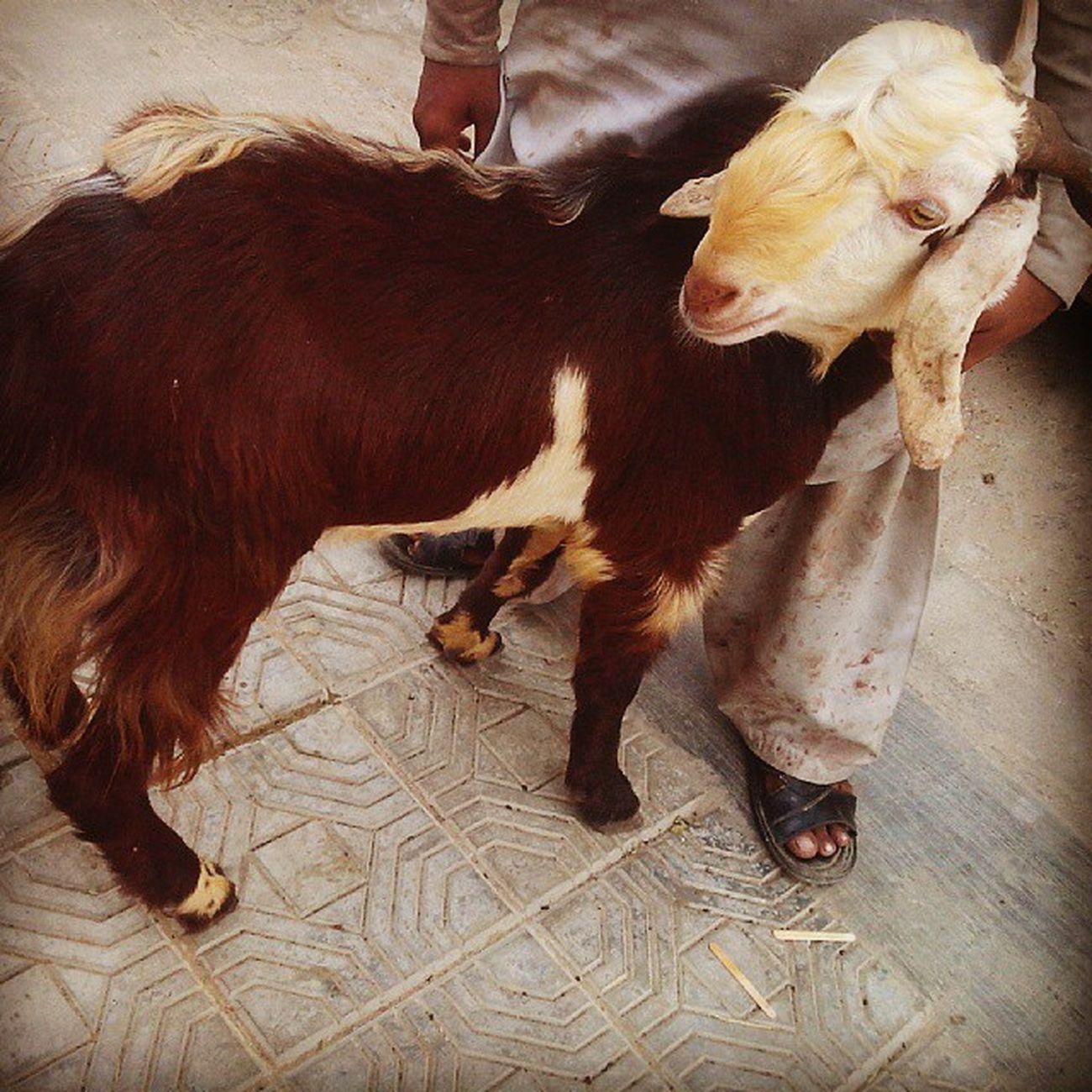 Eid Mubarak Eid Mubarak Eidmubarak Eiduladha sacrifice goat meat meatyeid bakra pakistan karachi butcher tikkaylagao