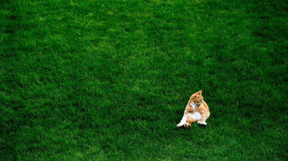 Animal Themes Beauty In Nature Cat Day Field Grass Grass Area Grassy Green Color Kitten Nature No People One Animal Tranquility Zoology