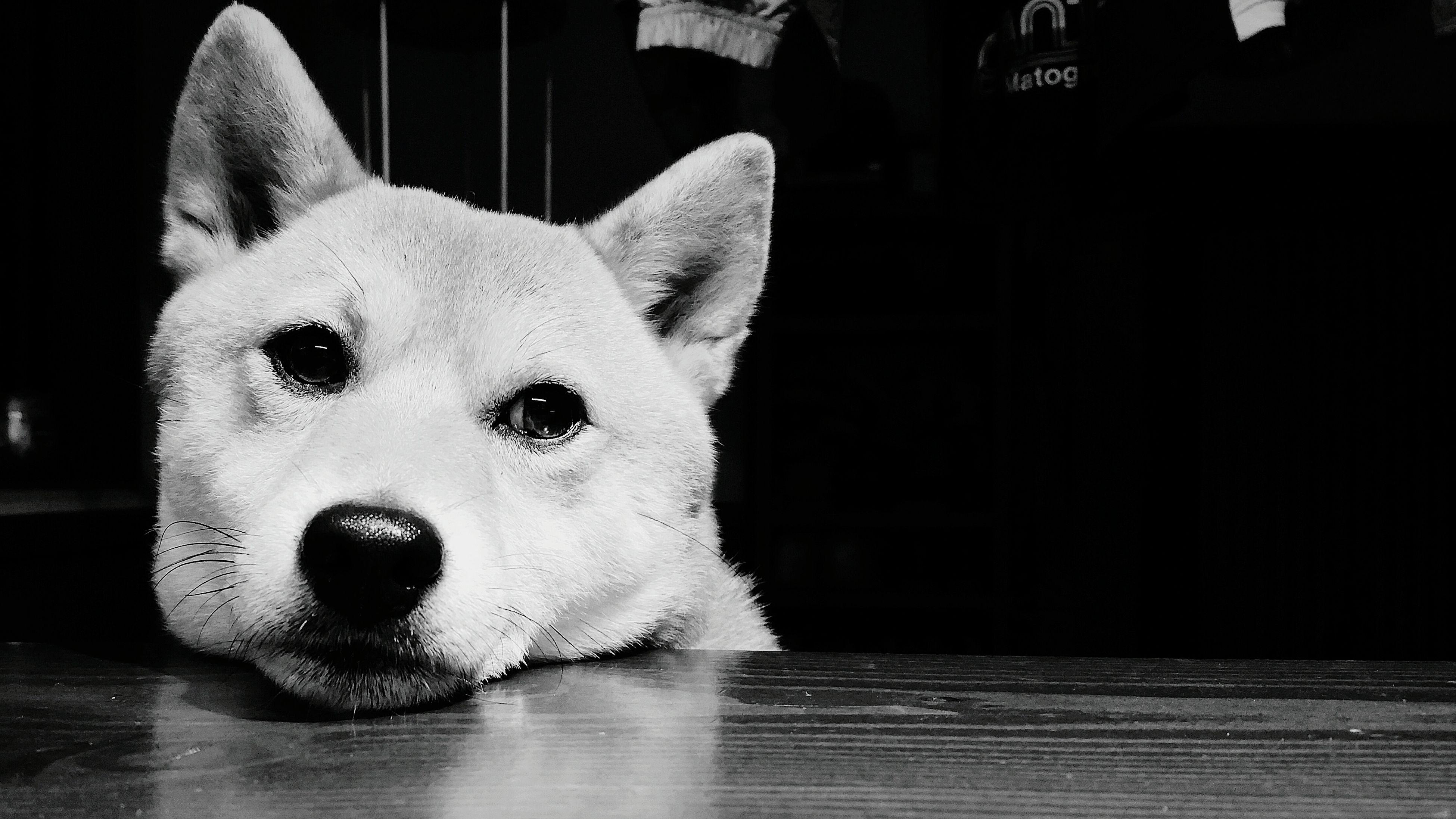 おはようございます。小雨が時折混じる曇りの富士市。今日は朝8時少し前に自宅を出発し、岐阜へ向かっています。写真は、昨晩次男くんが撮った、我が家の奈々ちゃん。いつも写真を撮ると、ブレブレになってしまう次男くん、今回は大成功!「僕の犬だもん♪」ご機嫌でした。 Hello World Shiba Inu 柴犬 何を考えてるの?