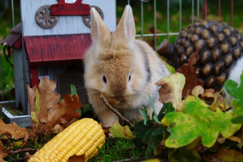 Rabbit Fall Fall Colors Food And Drink Animal Themes Food Corn Day Outdoors No People Mammal Close-up Domestic Animals Nature Freshness