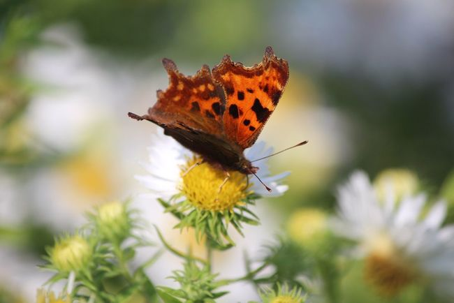 Butterfly Comma EyeEm Nature Lover Nature_collection Nature Flower Collection Naturelovers Butterflies Natures Diversities