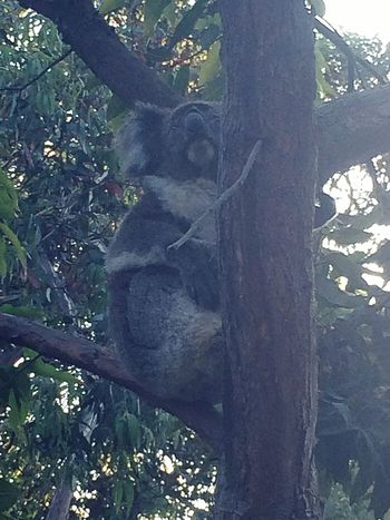 Tree Tree Trunk Day One Animal Branch Animal Themes No People Animals In The Wild Outdoors Nature Mammal Close-up Koala