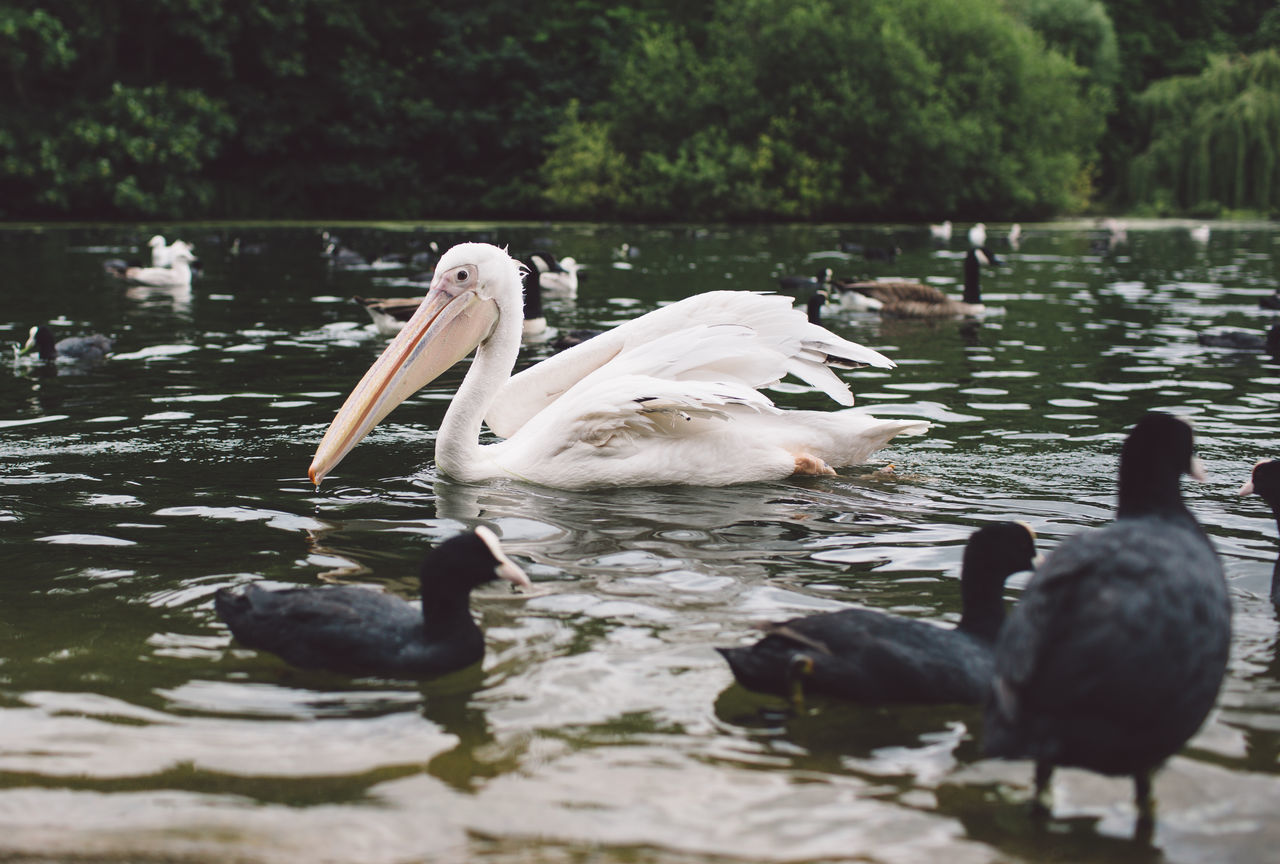 animals in the wild, animal themes, bird, lake, water, animal wildlife, swimming, water bird, swan, nature, day, reflection, no people, beak, outdoors, beauty in nature, tree, black swan, close-up