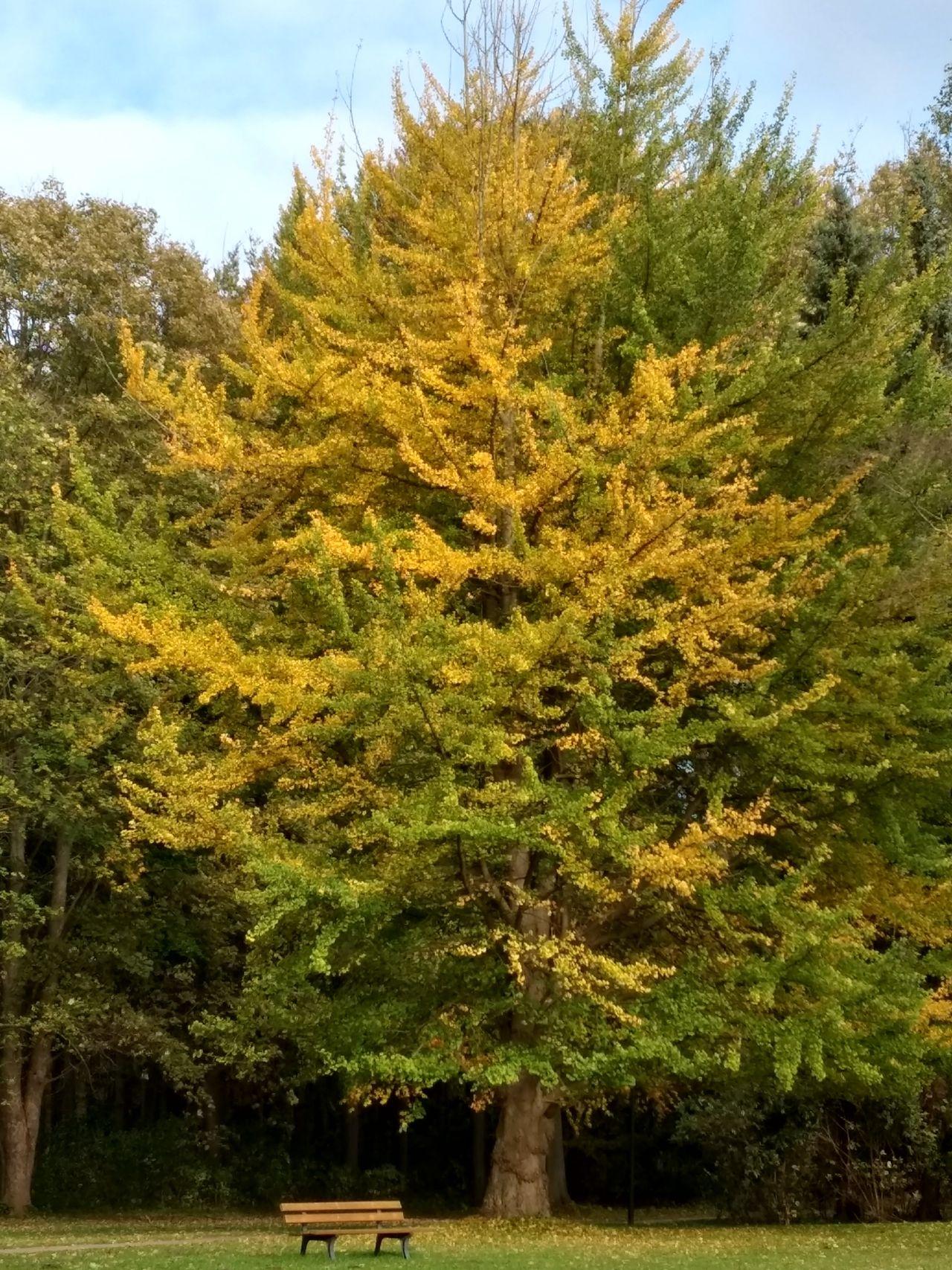 Ginko-Baum