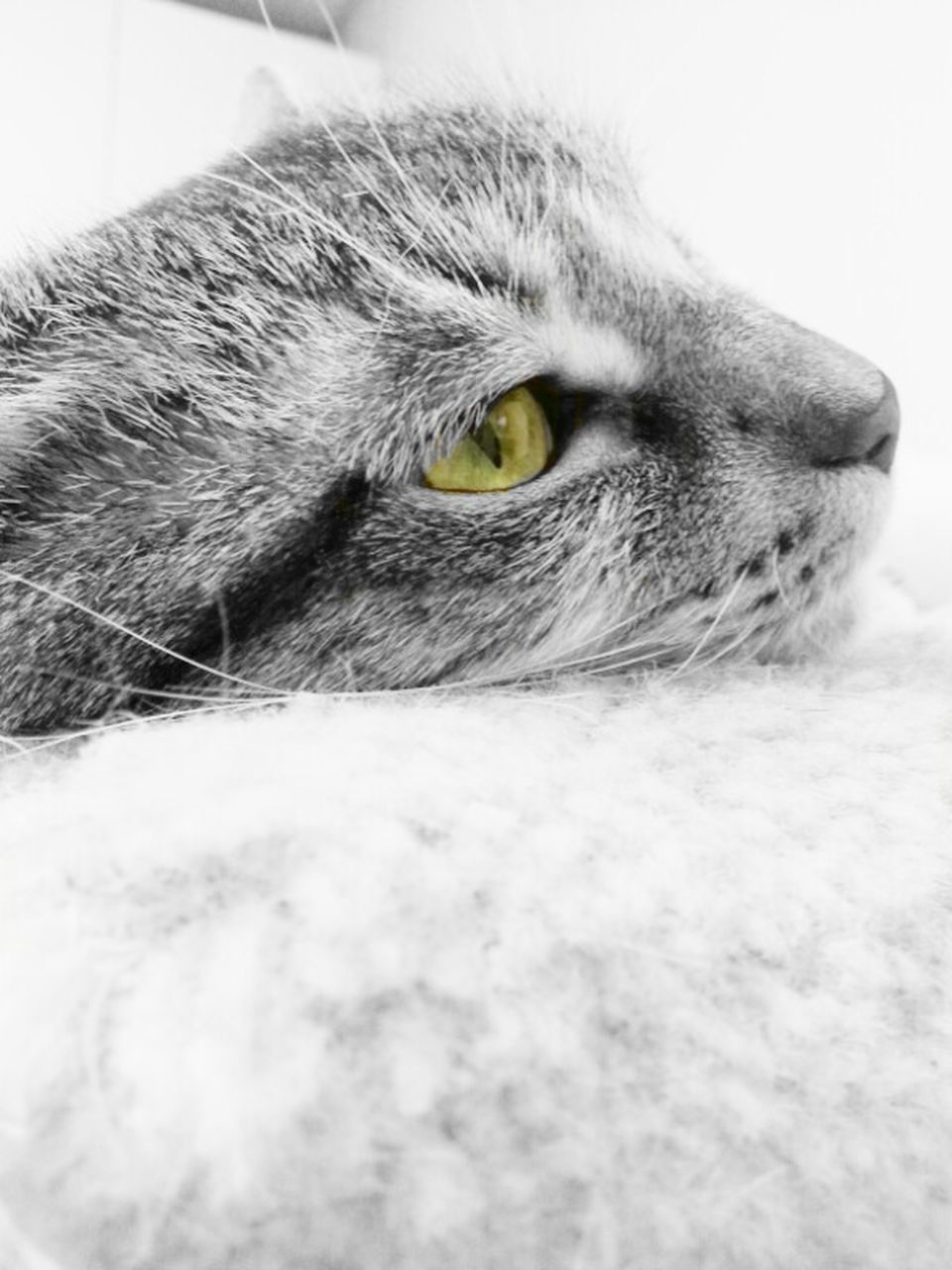 domestic cat, one animal, pets, domestic animals, animal themes, feline, mammal, cat, whisker, portrait, no people, indoors, close-up, looking at camera, day