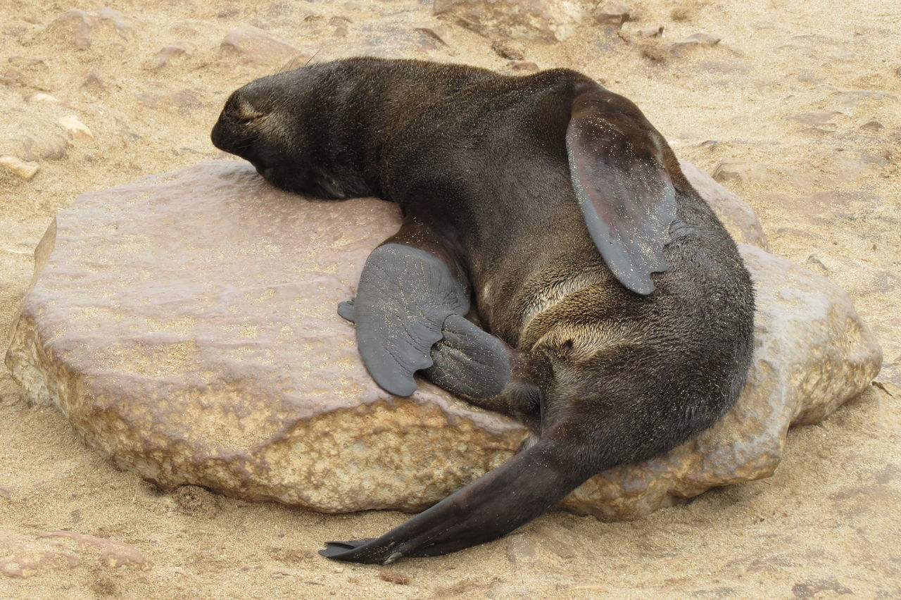 Animal Animal Head  Animal Themes Baby Seal Lying Down Mammal Namibia Nature Outdoors Relaxation Resting Seal Sleeping Zoology