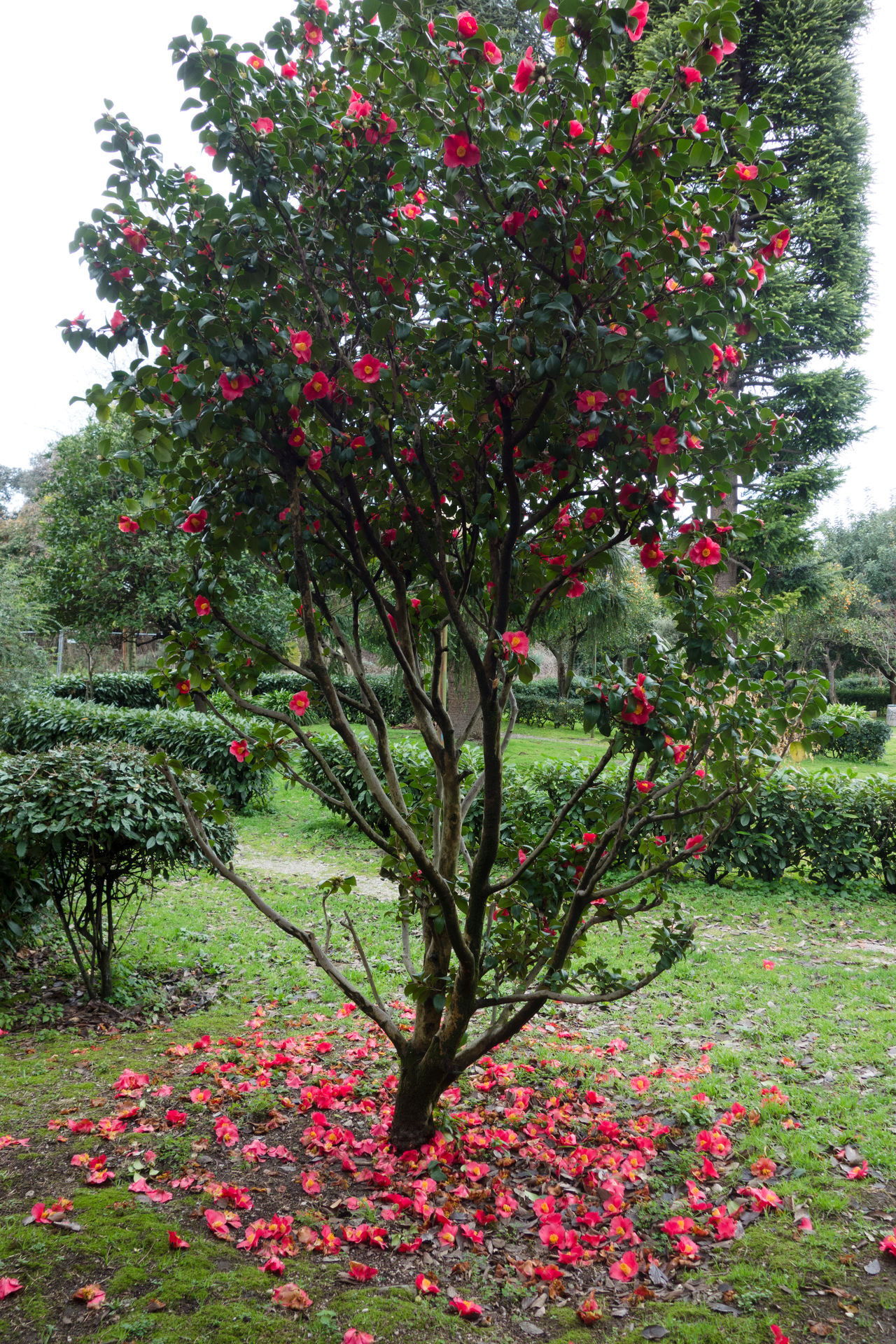 camellia plant with flowers Beauty In Nature Blossom Camellia Camellia Flower Camellia Japonica Close-up Day Flower Freshness Fruit Growth Nature No People Outdoors Red Tree