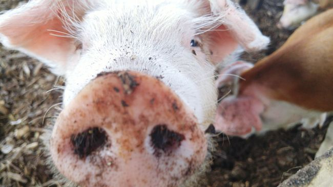 Furry Friend Piggy Pig Animals Furryfriend Funinthemud