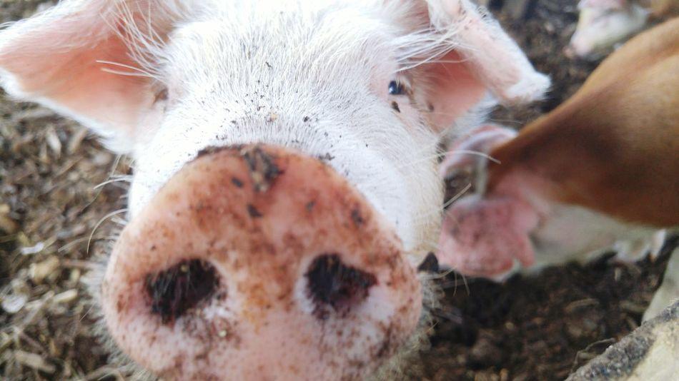 Furry Friend Piggy Pig Animals Furryfriend Funinthemud
