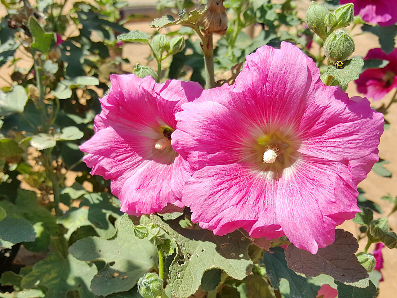 Beautiful pink hollyhock flower in the garden. Beauty In Nature Blooming Close-up Day Flower Flower Head Fragility Freshness Growth Leaf Nature No People Outdoors Petal Petunia Pink Color Pink Hollyhocks Plant