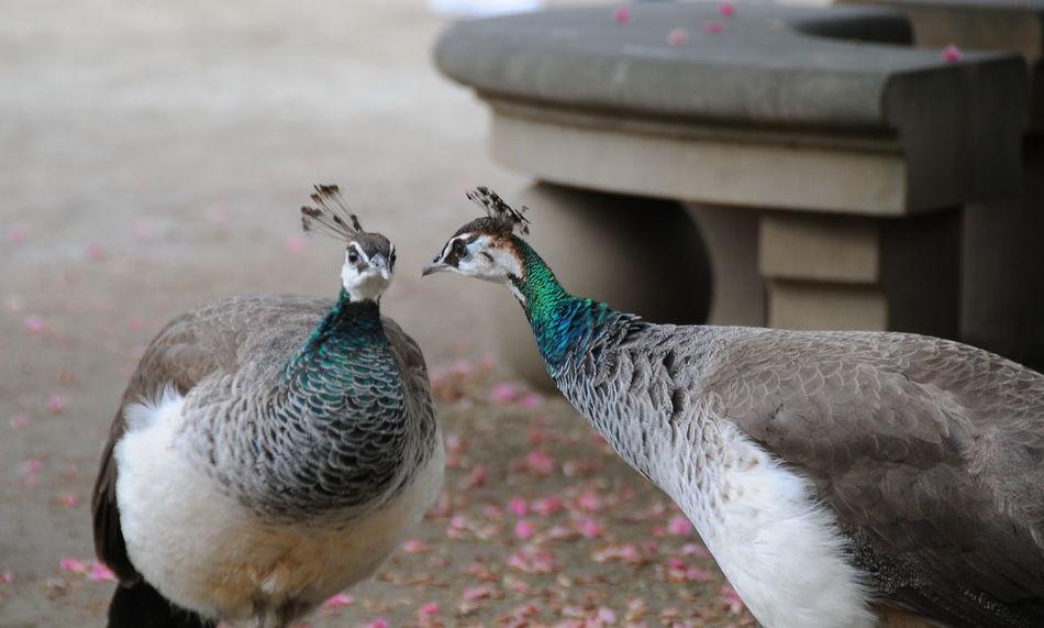 do you hear me Animal Themes Animal Wildlife Animals In The Wild Bird Day Do You Hear Me ? No People Outdoors Peacock Peacock Feather
