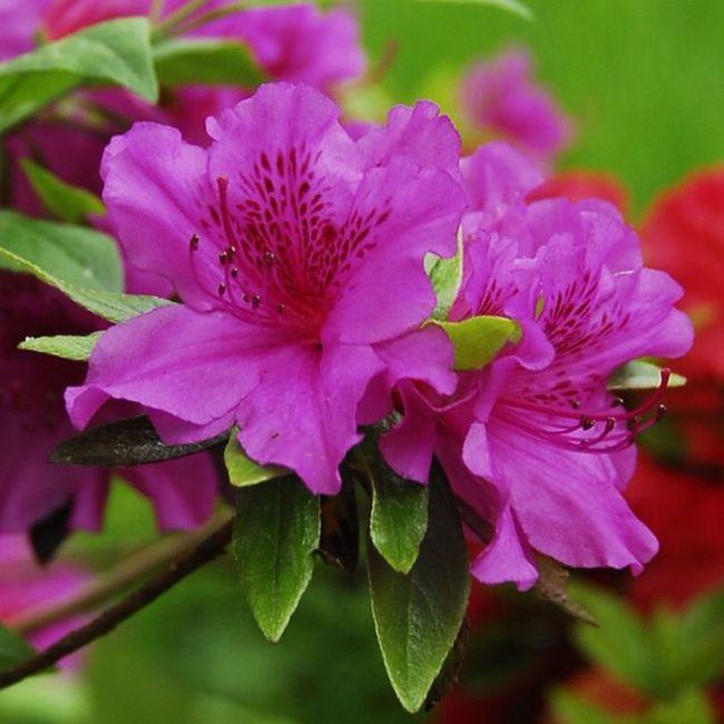 Camellia Japonica Camellia Flower Pink Flower Pink Flowers Pink Camellia Pink Color Oriental Flower