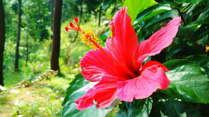 Hibiscus Flower Nature Beauty In Nature Growth Red Plant Flower Head Petal Freshness Fragility Outdoors No People Hibiscus Day Close-up Day Lily Leaf