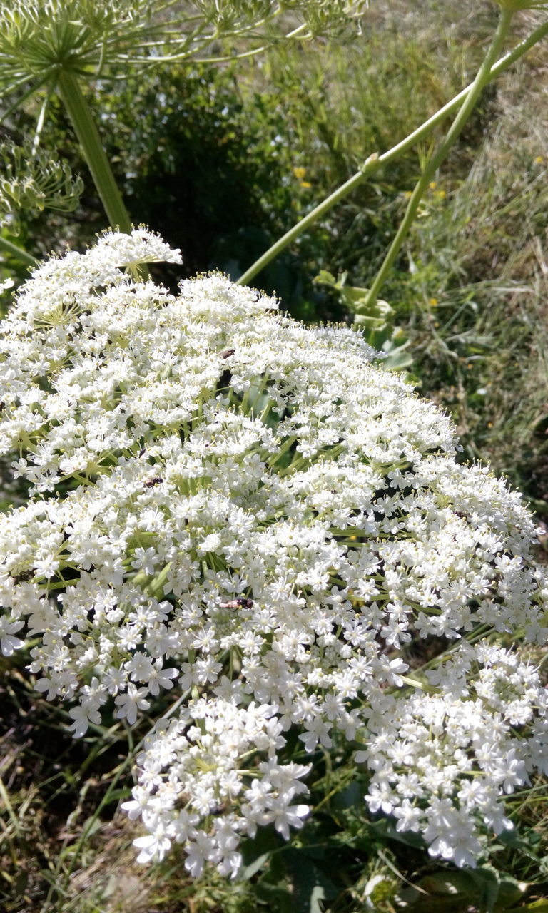 nature, growth, flower, day, white color, beauty in nature, grass, no people, outdoors, plant, fragility, close-up, freshness