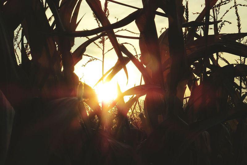 Sunset Farm Life Sunset In The Corn Cornfield Country Life Corn Stalks Fall
