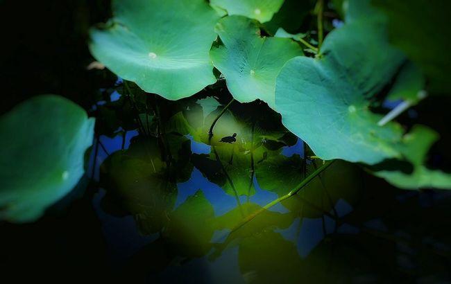 🐢~嫌われ者の外来種も憎めないよな~😫💦 Turtle Silhouette EyeEm Nature Lover Nature_collection Light And Shadow Showcase July Summertime Lotus EyeEm Animal Lover Animals Water Reflections Water_collection