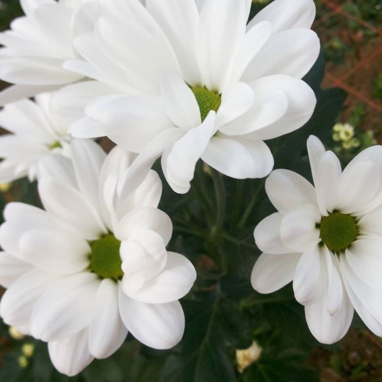 White Crysanthemum...so pure and refreshing,. White Chrysanthemum Flower Beautiful Creation Japan Tahara