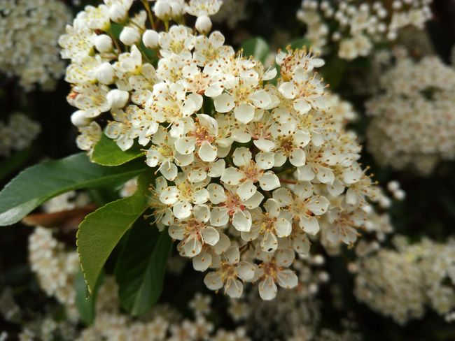 Pyracantha in bloom. Pyracantha Pyracantha In Bloom In The Garden Blooming Bloom Blossom Blossoms  Blossoming  Garden Garden Flowers Garden Flowers In Bloom White Petals White Flower White Flowers