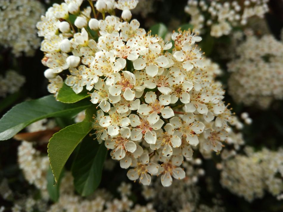 Pyracantha in bloom. Pyracantha Pyracantha In Bloom In The Garden Blooming Bloom Blossom Blossoms  Blossoming  Garden Garden Flowers Garden Flowers In Bloom White Petals White Flower White Flowers