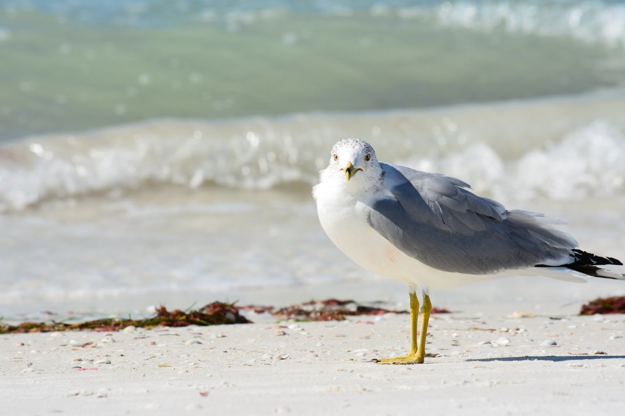 Bird One Animal Animal Wildlife Animal Beach Nature Sand Sea Outdoors Animals In The Wild No People Animal Themes Day Honeymoon Island Dunedin Fl Seagull Travel Destinations Scenics Water Florida Beauty In Nature Close-up Nature Vacations Who Me? EyeEm Nature Lover