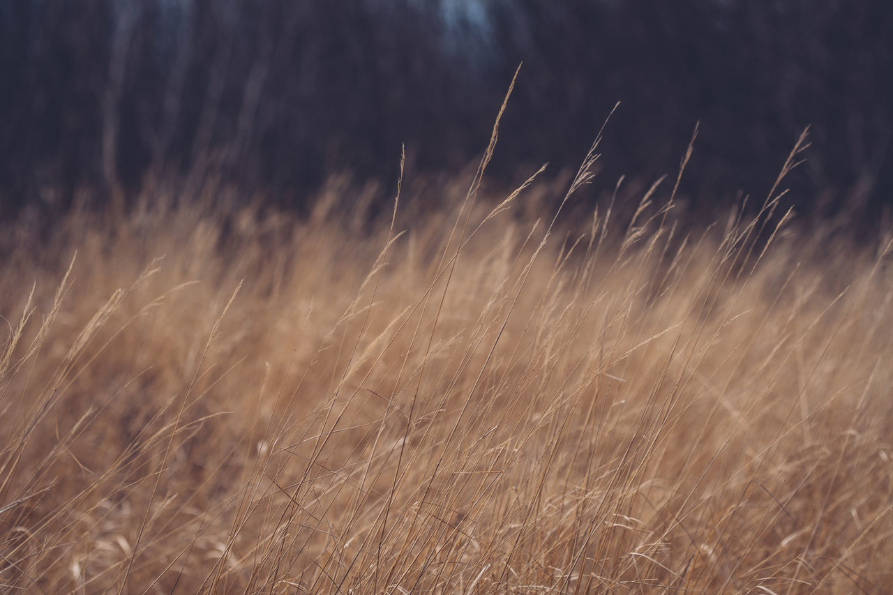 Backgrounds Beauty In Nature Close-up Day Field Grass Growth Nature No People Outdoors Plant Scenics Shallow Depth Of Field Tranquility Wheat Yellow