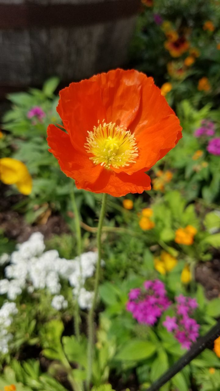 Close-Up Of Orange Poppy Blooming Outdoors