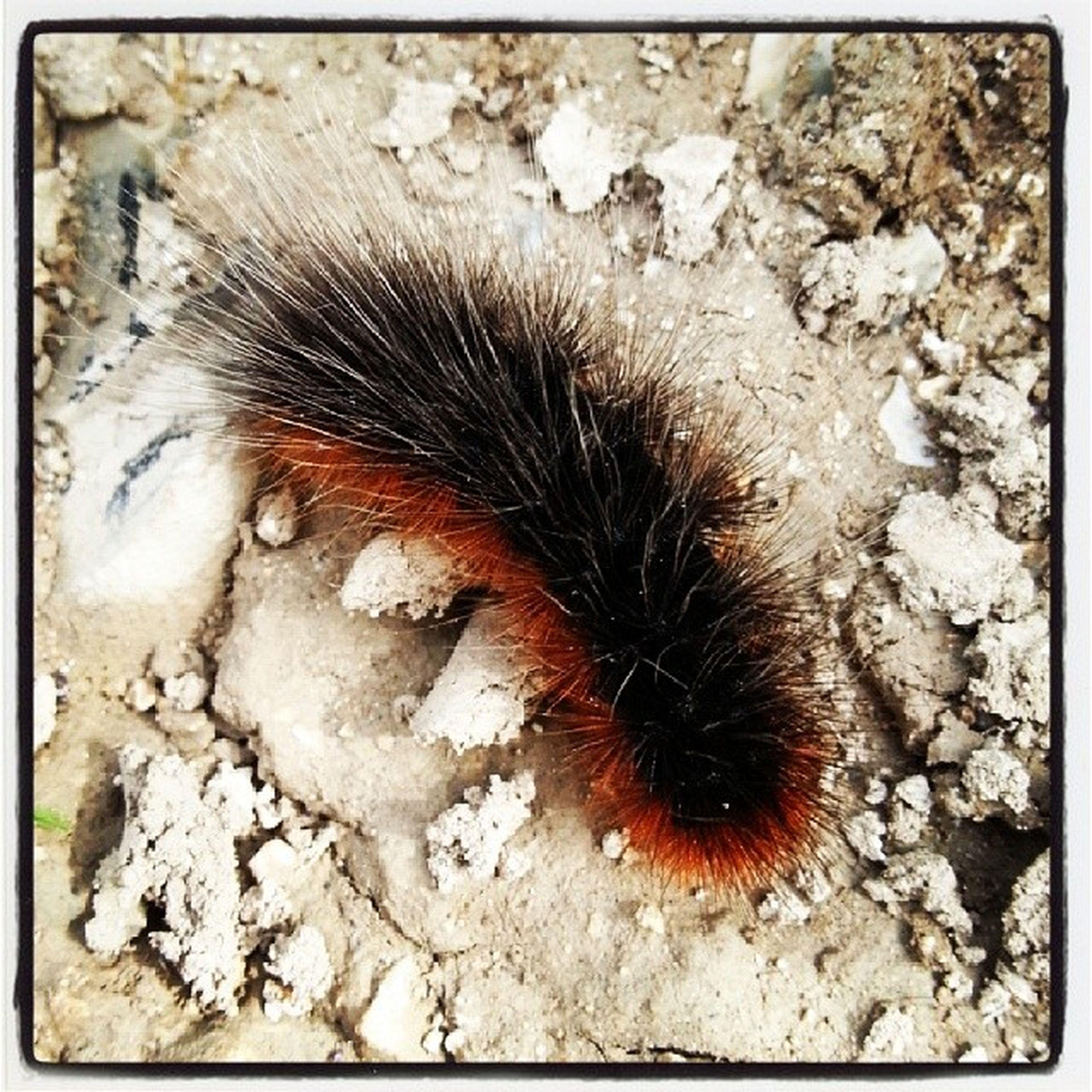 Hairy  Caterpillar Hairycaterpillar Walkingwiltshire walking findingcreatures