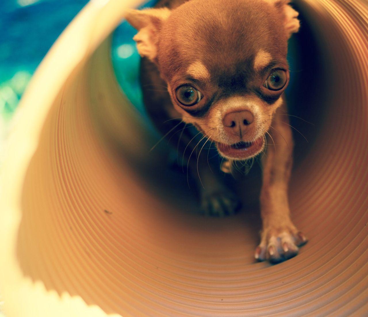 Beautiful stock photos of chihuahua, Alertness, Animal Themes, Brown, Chihuahua - Dog