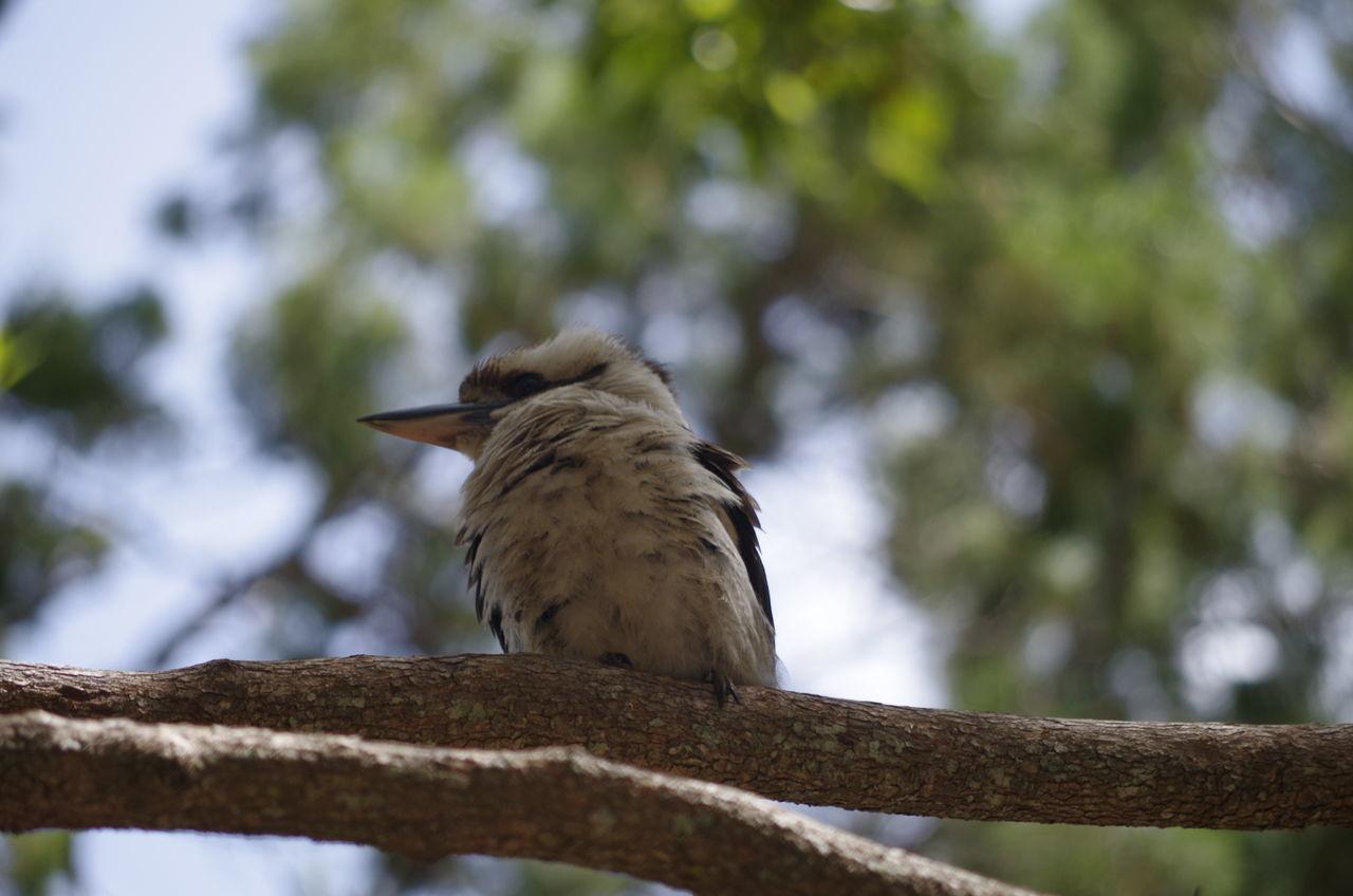 Taking Photos #birds Perching #kookaburra Close-up Enjoying Life Nature On Your Doorstep Amity Point Showcase July