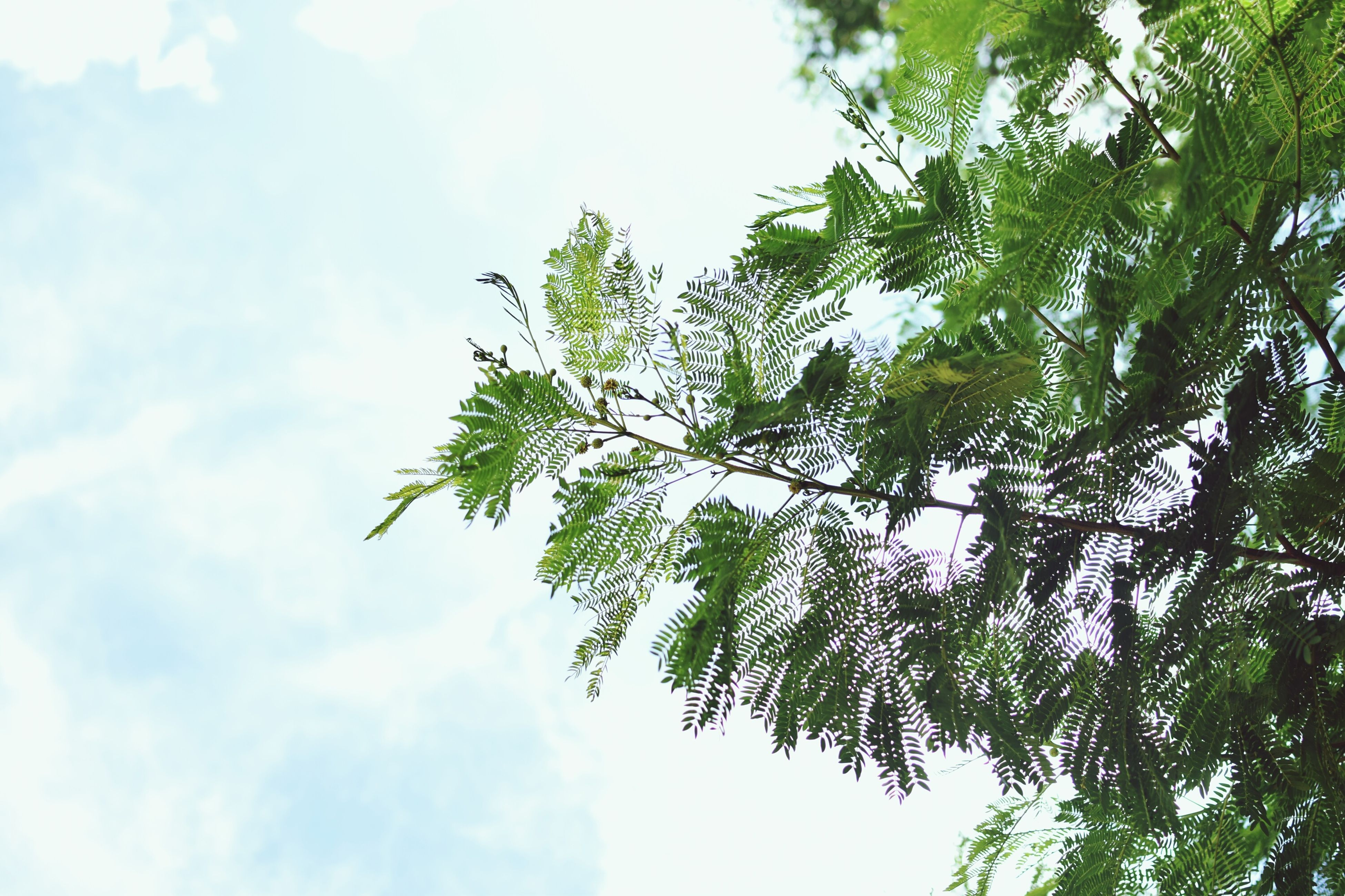 low angle view, tree, growth, sky, branch, leaf, nature, beauty in nature, green color, tranquility, day, outdoors, no people, cloud - sky, freshness, cloud, sunlight, green, scenics, close-up
