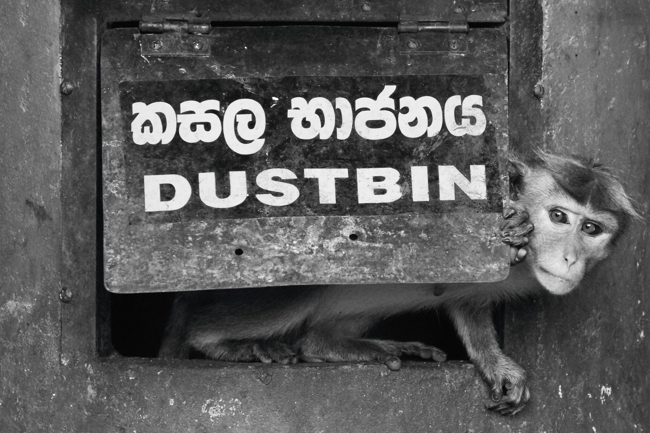 One Animal Animal Themes Urban Mammal Text Full Length Animals Portrait Monkey Primate Thief Steal Stealth Funny Day Outdoors People Wildlife Black And White Monochrome EyeEm Best Shots Check This Out Catch The Moment Bin in Sri Lanka