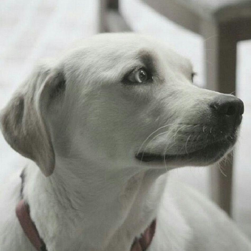 Hüzünlü fıstık 😍😍 Mybabydog MyBabyGirl  Pet Pet Love Petlovers Fistik Bestfriend Labrador LabradorRetriever