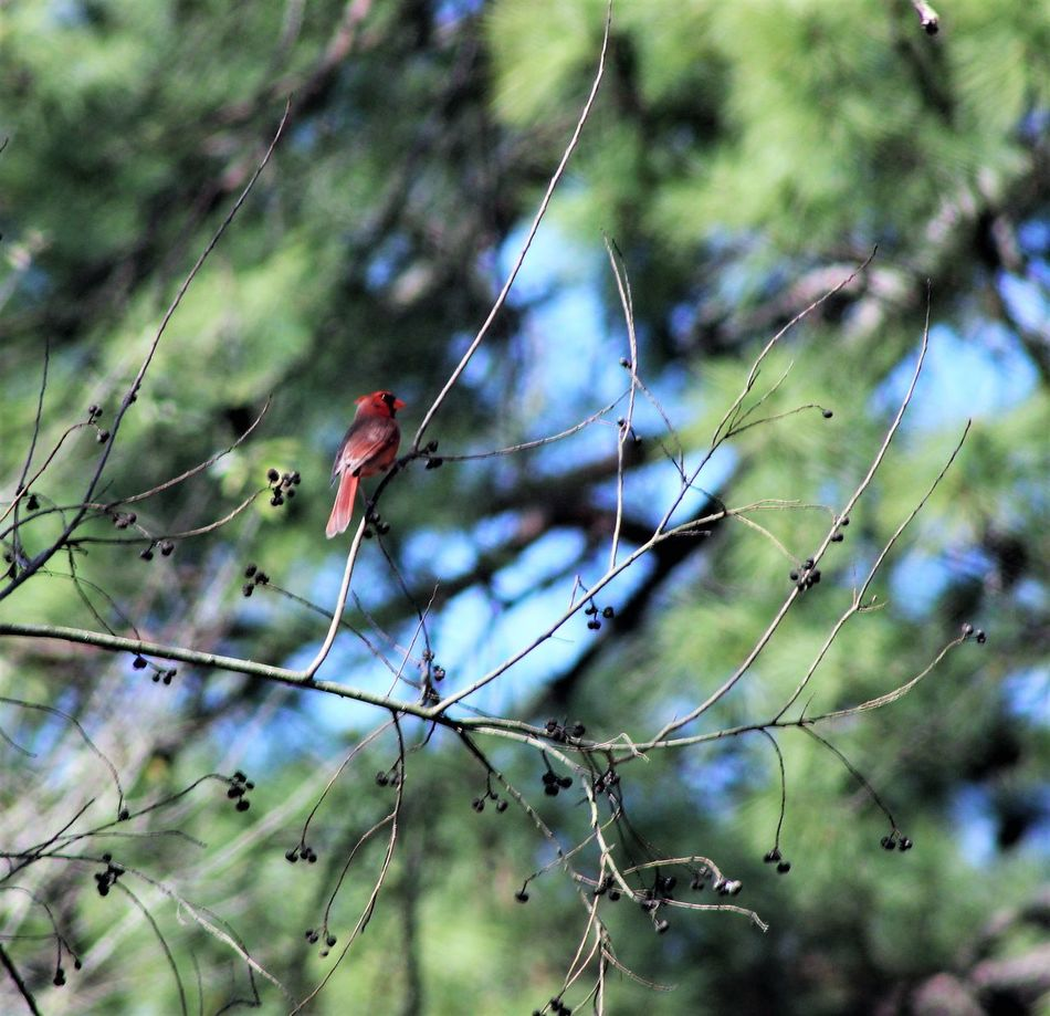 Animal Themes Animal Wildlife Animals In The Wild Beauty In Nature Bird Close-up Day Nature No People One Animal Outdoors Perching Tree Canonphotography Things In My Back Yard Manual Focus Redbird Sunlight