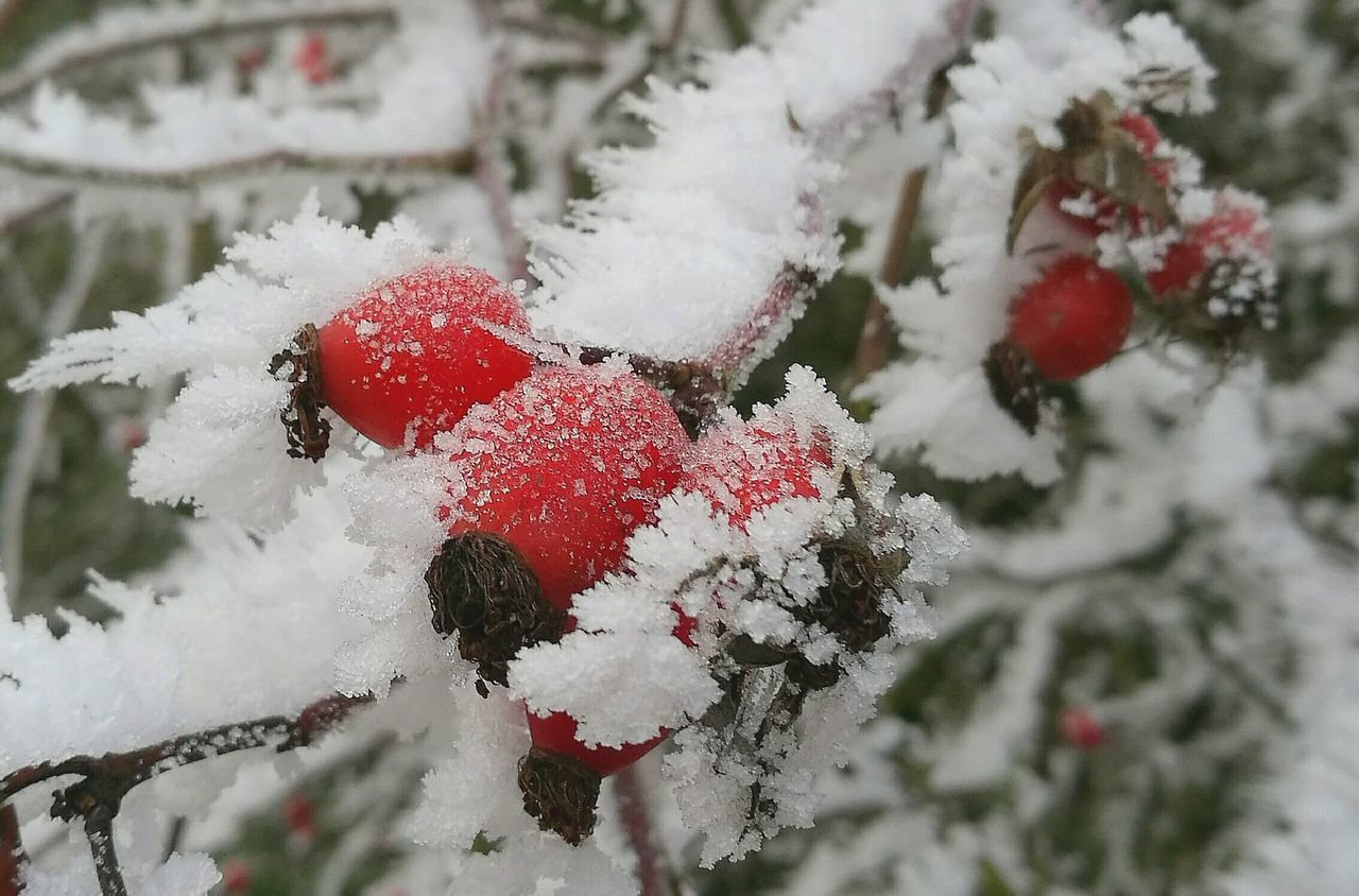Rosehip in hoarfrost No People Beauty In Nature Outdoors Red Frozen Flowers Frozen Nature Frozen Fruits P9 Huawei P9 Leica Hello World The Purist (no Edit, No Filter) The Week Of Eyeem Capture The Moment Fragility Silence Of Nature Photography Tadaa Community Fine Art Photograhy Abstract Photography EyeEm Best Shots